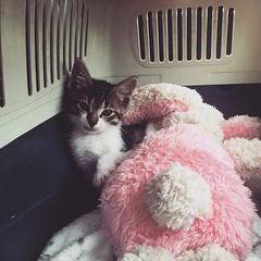 A very good passenger (rjmiller1807) Tags: luna foster fostering fosterkitten fosterarescue adoptarescue adoptdontshop cat kitty kitten cute sweet carrier 2017 december iphone iphonography iphonese