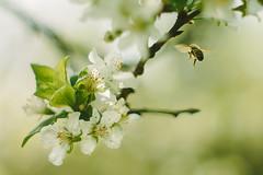 Spring close-up (Inka56) Tags: 7dwf macroorcloseup bee hbw spring closeup supertakumar255 manualfocus bokeh dof throughherlens flickrheroes