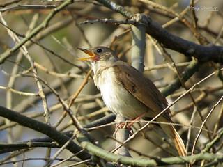 Nightingale (Luscinia megarhynchos) ♂