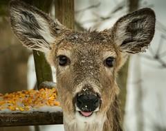"""It's a Hard Knock Life!"" (Dr. Farnsworth) Tags: deer frazzled ice snow winter annie tomorrow sun warmup weather fernridge mi michigan spring april2018"
