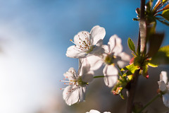 Sunny Cherry Blossom (Theo Crazzolara) Tags: cherry cherryblossom blossom kirschblüte kirsche natural nature wedding nice beautiful flower romance sun garden fruit tree hope light macro closeup