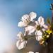 Sunny Cherry Blossom