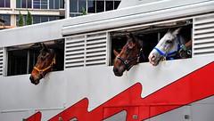 Admiring the landscape - Admirando el Paisaje (Raúl Alejandro Rodríguez) Tags: caballos horses transporte transportation camión truck kuala lumpur malasia malaysia