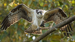 Osprey Fledgling (photosauraus rex) Tags: osprey fledgling raptor vancouver bc canada