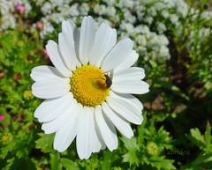 Fly on white Daisy (abrideu) Tags: abrideu panasonicdmctz20 macro fly white daisy depthoffield flower insect bright bokeh garden outdoor ngc npc