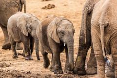 South_Arica_2018_14 (s4rgon) Tags: addoelephantnationalpark addoelephantpark animals elefant elephant gardenroute natur nature southafrica südafrika tiere