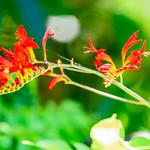 Crocosmia (Crocosmia x crocosmiiflora) : ヒメヒオウギズイセン(姫檜扇水仙) thumbnail