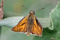 Large Skipper (scubahenlik) Tags: butterfly brøndbyskoven denmark hesperiidae insect nature