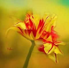 Parrot Tulip (Patlees) Tags: flower tulip parrot textured dt