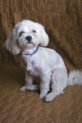 """""""How you like my new haircut? I think it's nice"""" ;) (green_lover (your COMMENTS are welcome :))) Tags: fela dog dogs pets maltese animals white"""