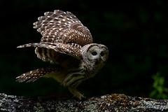 Barred Owl (Earl Reinink) Tags: owl raptor predator barredowl lighting woods forest wings earl reinink earlreinink oeitodrdza