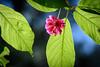 Cherry Blossom (Pai Shih) Tags: sakura cherryblossom macro flora flowers nature