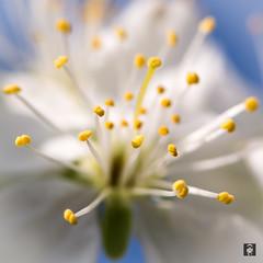 Springtime !!!! (@FTW FoToWillem) Tags: lente spring springtime macro bokeh dof bloesem blossom jaargetijde seizoen betuwe gelderland acquoy nature natuur netherlands nederland holland hollanda hollande colorful 105mm nikon d5200 ftw fotowillem willemvernooy