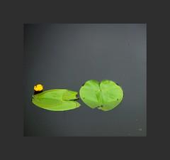 ... (kate053 (peu présente)) Tags: nénuphar fleur étang nature zen promenadefleurie mimizan landes