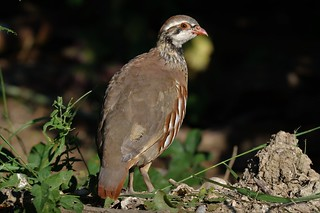 Red-legged Partridge  (Alectoris rufa)  Juvenile