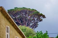590 - Cap Corse - Pino (paspog) Tags: corse pino corsica capcorse france mai may 2018 pin pinparasol pinetree