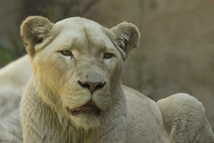 Leeuwin - Ouwehands - Rhenen (Jan de Neijs Photography) Tags: ouwehands ouwehandsdierenpark dierentuin zoo rhenen tamron tamron150600 150600 dierenpark nl holland thenetherlands dieniederlande utrecht diergaarde g2 tamron150600g2 animal dier afrikaanseleeuw krügerleeuw afrikaansewitteleeuw pantheraleo king löwe lioness