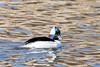 Bufflehead, male (Glenn R Parker) Tags: divingducks ducks bufflehead