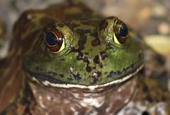 American bullfrog (Lithobates catesbeianus or Rana catesbeiana (im2fast4u2c) Tags: american bullfrog lithobates catesbeianus or rana catesbeiana animalwildlife sheldonlakestatepark