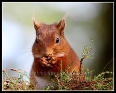 IMG_0159 Red Squirrel (Scotchjohnnie) Tags: redsquirrel sciurusvulgaris squirrel squirrelphotography mammal rodent wildlife wildlifephotography wildanimal wildandfree nature naturephotography naturewildlifeandbirds canon canoneos canon7dmkii canonef100400f4556lisiiusm scotchjohnnie