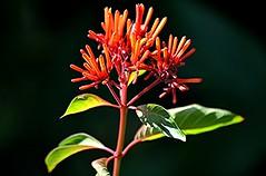 Hamelia patens... a butterfly feast! (jungle mama) Tags: hameliapatens orange firebush tropicalshrub rubiaceae redhead coffee livinginajungle susanfordcollins hummingbirdbush scarletbush black bee hummingbird