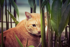 We can still see you, Joey! 😸 (stratman² (busy-taking care of Joey)) Tags: canonphotography eos60d efs55250mmf456isstm iso3200 orangecats littlejoey kitteh catmoments kucing chat gato neko cc100 creativecommons
