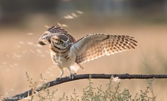 And now for my next move (Photosuze) Tags: owls burrowingowls cute birds avians owlets aves animals nature wildlife