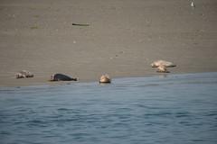 Phoca vitulina_DVL0192 (larry_antwerp) Tags: nederland zeeland oosterschelde zeehond seal phocavitulina commonseal gewonezeehond harbourseal harborseal