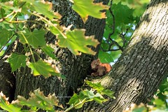 (rscholle) Tags: squirrel eichhörnchen babys cubs youngsters