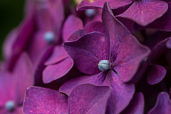 Hydrangea (alison's daily photo) Tags: hydrangea purple flower garden flora