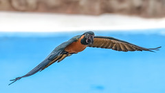 Macooooor (Paul Wrights Reserved) Tags: macaw macaws parrot parrots bird birding birdphotography birds birdwatching flying fly