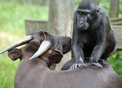 Anoa and sulawesi macaque artis JN6A3442 (j.a.kok) Tags: anoa mammal macaque makaak sulawesimakaak blackcrestedmacaque celebescrestedmacaque kuifmakaak zwartekuifmakaak artis animal aap asia azie zoogdier dier