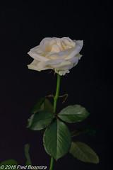 """a rose for......."" (Fred / Canon 70D) Tags: jinbeidiffusionjumboumbrella jinbei elinchromgoldumbrella elinchrom falconeyesskk2150d falconeyes ef100mmf28lmacroisusm canon70d canoneos canon roos rose whiterose witteroos closeup eefde"