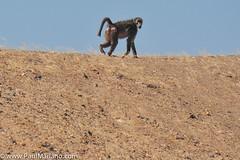 DSC_8858-2 (paul mariano) Tags: paulmarianocom paul mariano allrightsreserved namibia wildlife photography animals africa