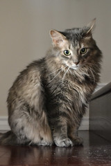 Jack on the Stairs (Vegan Butterfly) Tags: animal cat feline cute adorable fur furry maine coon