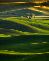 Lone Tree Sunset - Palouse, Washington (Jim Patterson Photography) Tags: adventure beauty landscape natural nature outdoors scenic palouse steptoebutte washington americana rural rollinghills lonetree sunset agriculture agricultural spring green jimpattersonphotographycom jimpattersonphotography seatosummitworkshops seatosummitworkshopscom pacificnorthwest sony a7riii