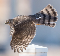 Aerial Assault (TNWA Photography (Debbie Tubridy)) Tags: coopershawk hawk coopers raptor birdofprey wildlife flyby wings pursuit nature flight flying neighborhood habitat environment wild rural behavior hunting activity spring outdoors debbietubridy tnwaphotography