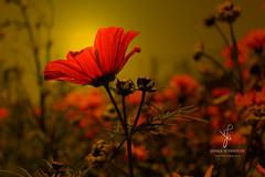 Poppy (Janika Schindler) Tags: flower sunset sunrise sun light nature creative art plant inspiration macro photography meadow ou outdoor outside