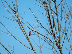 jewel in the sun (long.fanger) Tags: centreville virginia rubythroatedhummingbird utilityeasementarea
