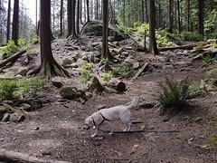 Where's Waldo... I mean, Gracie??? (walneylad) Tags: gracie dog canine pet puppy lab labrador labradorretriever cute july summer afternoon greenwoodpark whereswaldo
