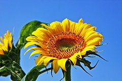 Sunflower (ULTRA Tama) Tags: japan shizuoka fuji todays dayliphoto instadaily photogenic igjapan loversnippon worldcaptures flickrfriday welovef july 2018 worldheritage tabijyo genicmag retripjapan retripshizuoka explorejapan traveljapan