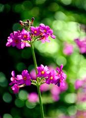 Seek Magic Every Day (barbara_donders) Tags: natuur nature summer zomer flowers bloemen pink roze bokeh macro mooi prachtig beautiful magical