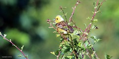 Yellowhammer (m)  J78A0596 (M0JRA) Tags: birds flight flying wildlife rats walks gardens parks fields trees lakes ponds ducks swans rspb