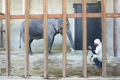 DSC07893 (muzina_shanghai) Tags: みどり アジアゾウ 神戸市立王子動物園 フェニックス自然動物園 宮崎市フェニックス自然動物園 種の保存計画 elephasmaximus midori kobeojizoo