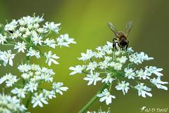 Abeille sur sa Reine des près ! (Jean-Daniel David) Tags: insecte insectevolant nature réservenaturelle closeup grosplan bokeh yverdonlesbains suisse suisseromande vaud blanc vert reinedesprés fleur