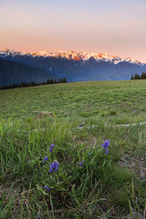 Nothing great in the world has ever been accomplished without passion… (ferpectshotz) Tags: hurricaneridge wildflowers meadow sunrise rainforest olympicpeninsula olympicmountains goldenhour olympicnationalpark summer meadows pacificnorthwest cold windy pnw nw landscape nature mountain grass field snow snowcappedmountainpeak firstrays