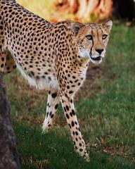 850_0596 Cheetah (greyhound rick) Tags: cheetah cat wild zoo fierce beautiful nature spots nikon photoshop lightroom garyfonglightsphere eyes stare fast speed grace nikond850 sb800