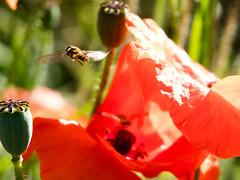 Poppy and Hoverfly (Andy Sut) Tags: nature poppy flower wildlife uk shropshire england dennfarm macro closeup