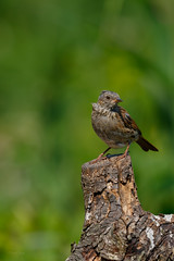 721A8289 (Chris Clicks Photography) Tags: 100400 bird birdphotography birdwatching birds canon canon7dmkii canonef100400f4556lisiiusm canon7dmarkii chrisclicks dunnock merebrow photo photography wildlife canon100400usmii canon7dmark2