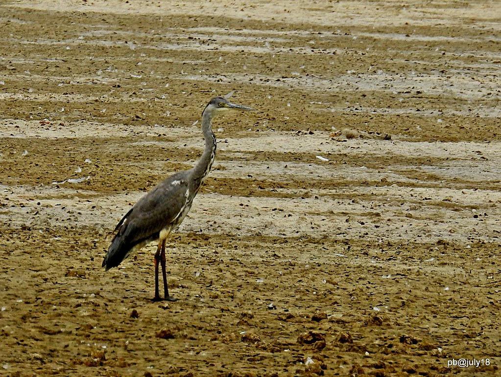 Grey heron....looking for water.